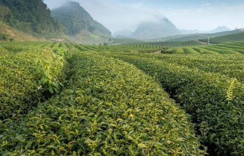 A cup of tea to boost immunity?